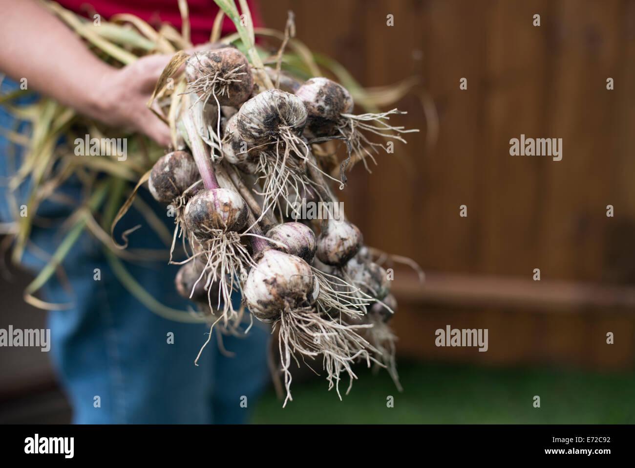 Bunch of freshly picked garlic held in the gardener's hand Stock Photo