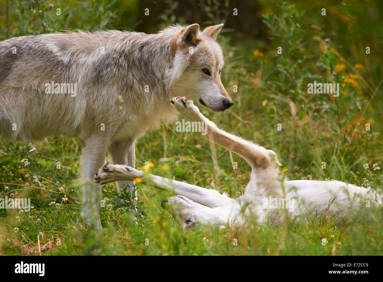 2 Gray or Grey Wolf (Canis lupus) - Stock Image