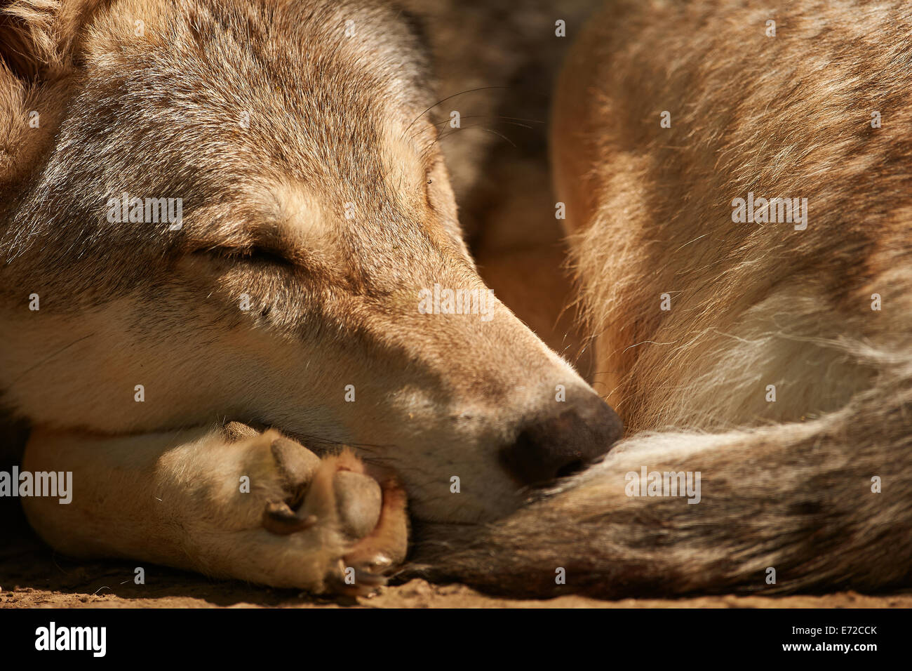 A sleeping Gray or Grey Wolf (Canis lupus) - Stock Image