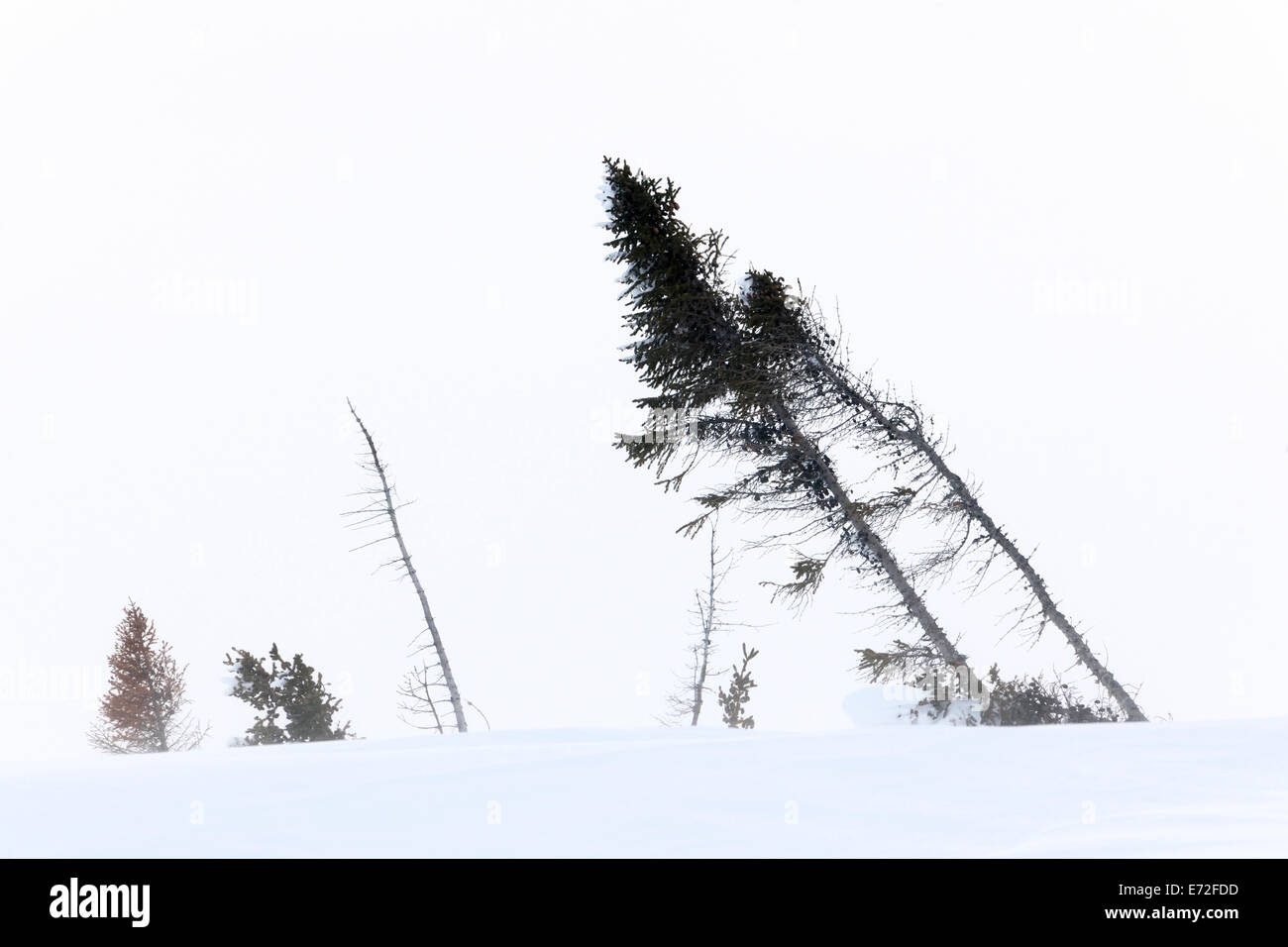 Arctic tundra with taiga forest, moved by the strong blizzards, Wapusk National park, Canada. - Stock Image
