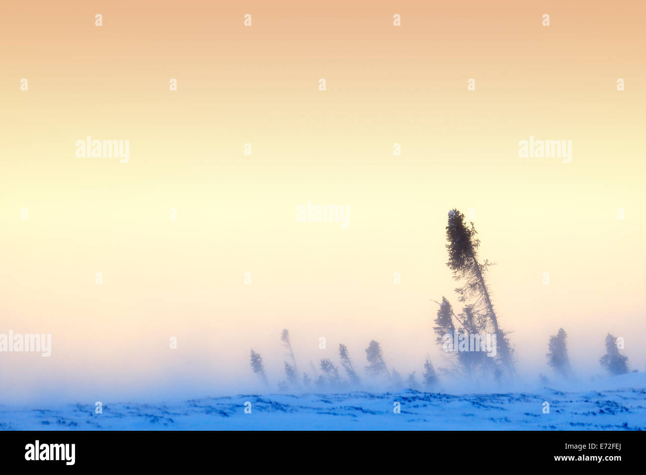 Arctic tundra with taiga forest at sunset with blizzard blowing snow, Wapusk National park, Canada. - Stock Image