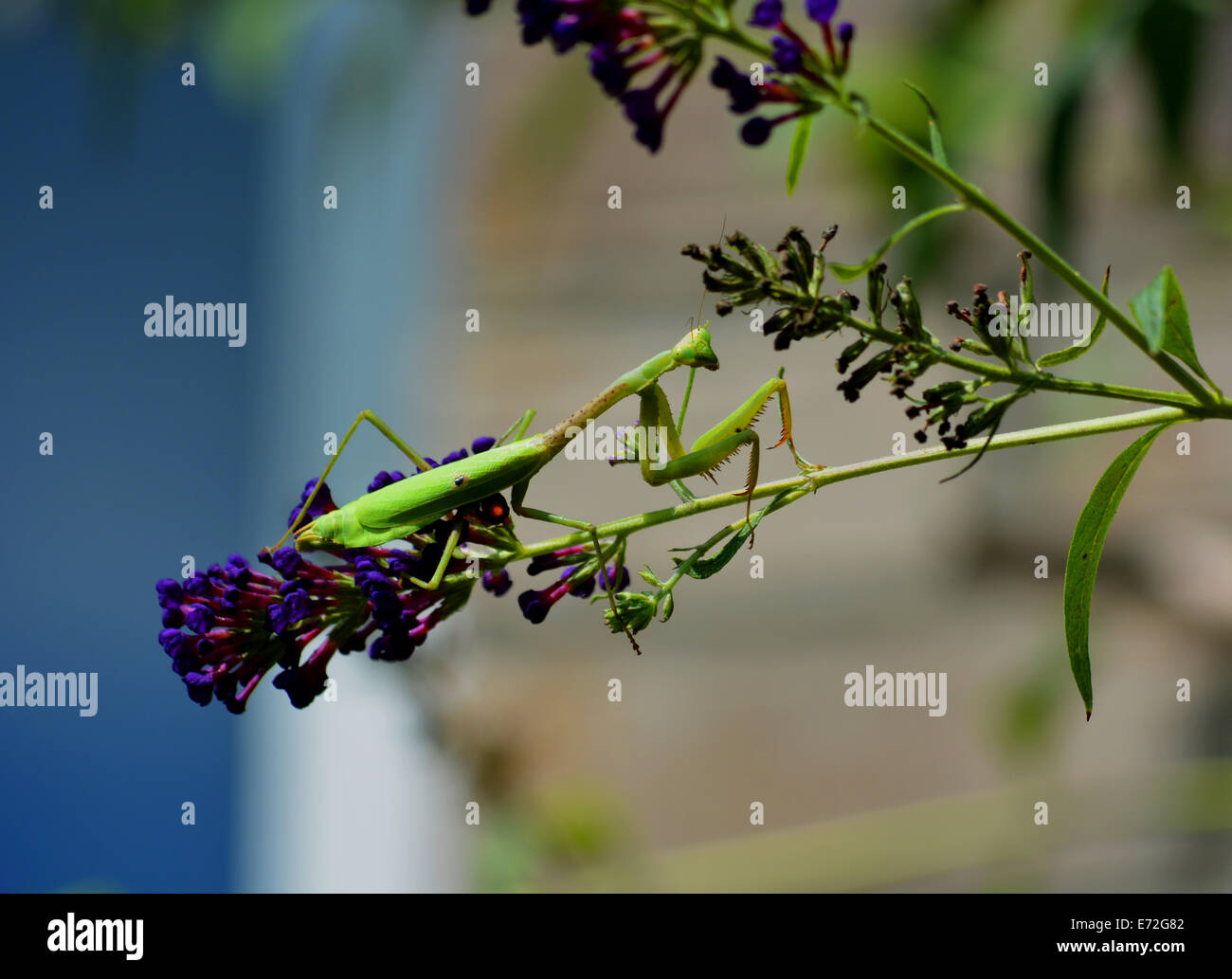 A preying Mantis - Stock Image