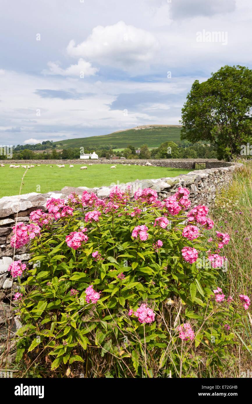 Phlox (flocks) growing beside the lane in the English Lake District village of Bampton Grange, Cumbria UK - Stock Image