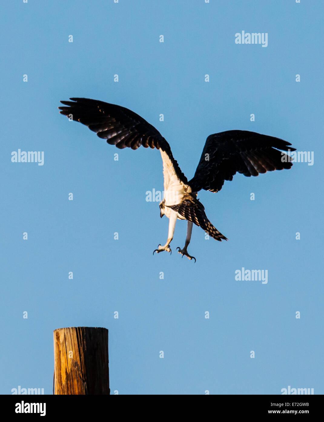 Young Osprey chick in flight, Pandion haliaetus, sea hawk, fish eagle, river hawk, fish hawk, raptor, Chaffee County, - Stock Image