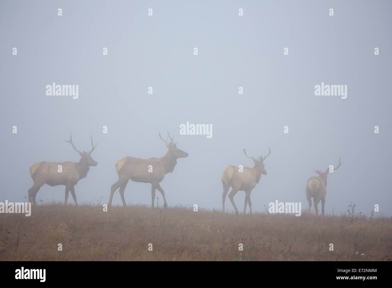 Tule elk in fog in Point Reyes National Seashore, Marin County, California - Stock Image