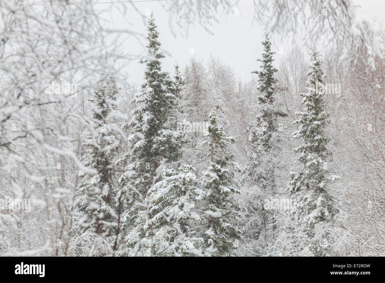 Mixed conifer and birch tree (Betula sp.) forest in winter in Chugiak, Alaska. - Stock Image