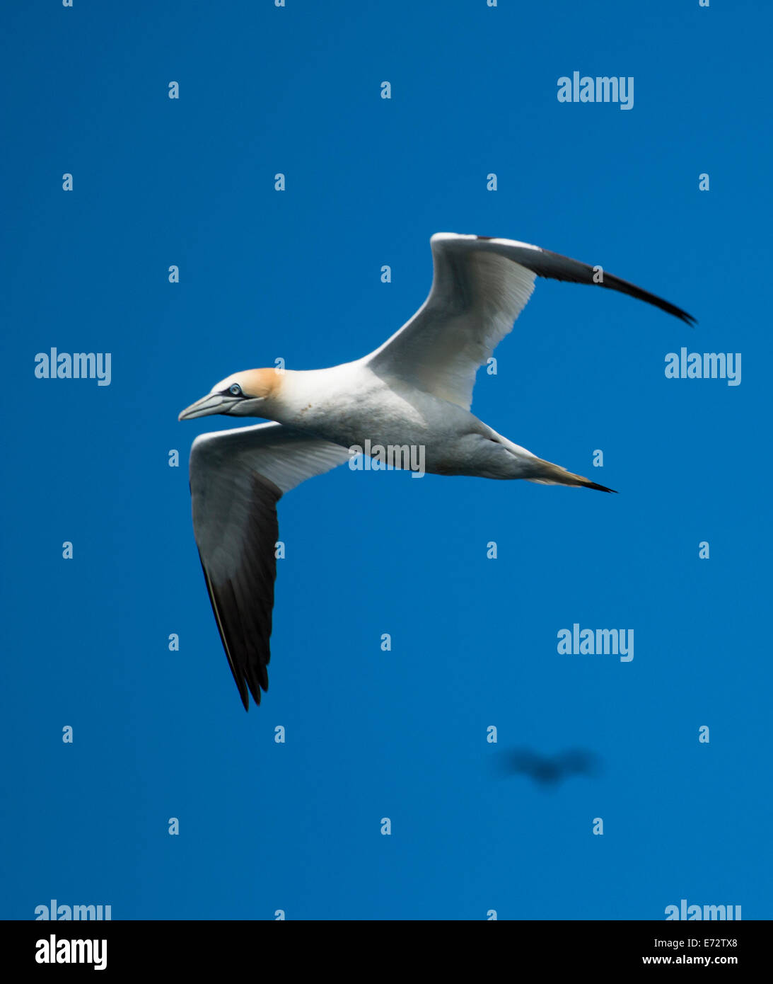 Gannet in flight - Stock Image