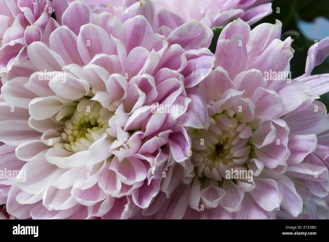 Detail close-up of some pretty pale purple mums. - Stock Image