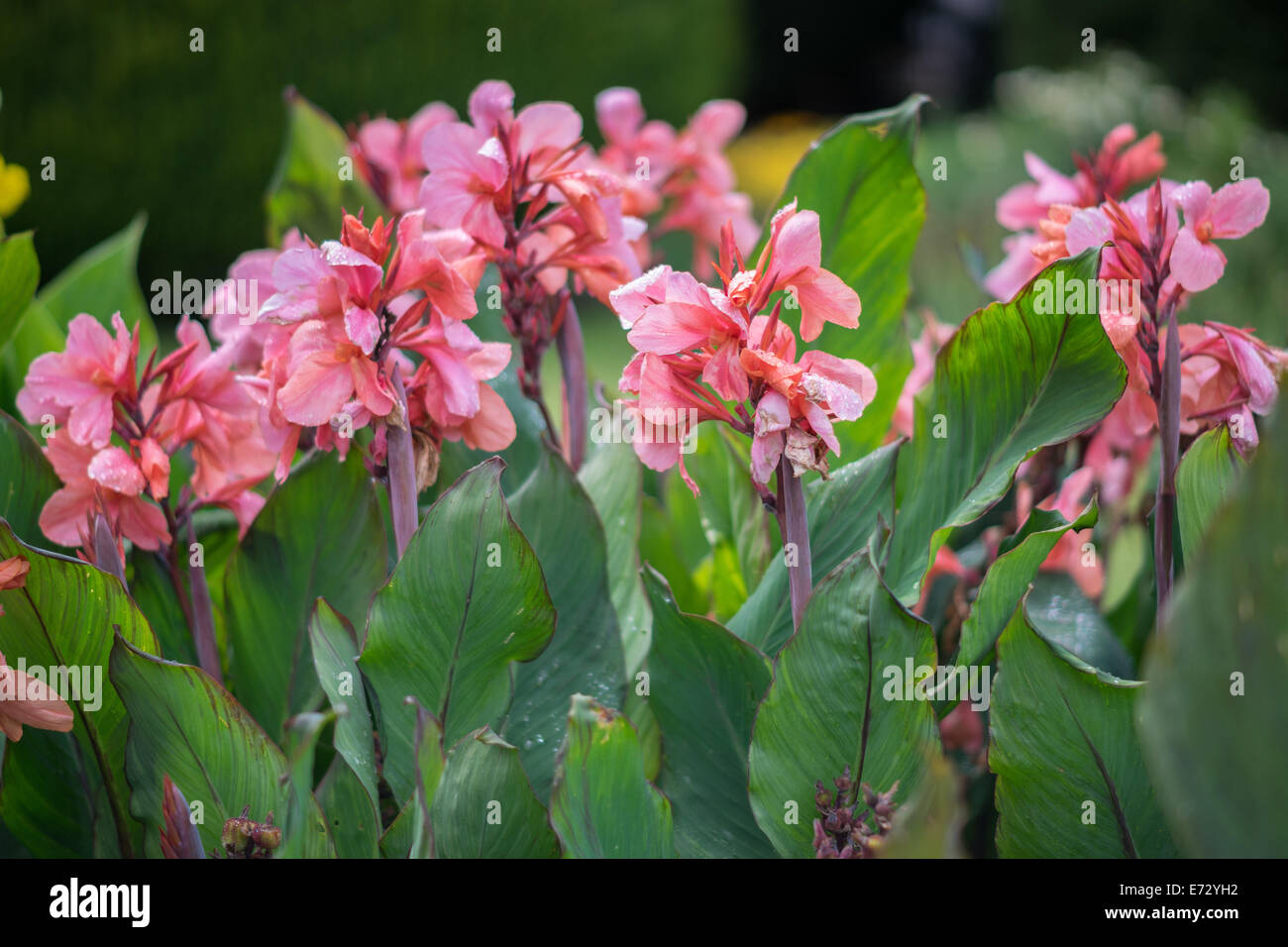 Pink Canna Lily Stock Photos Pink Canna Lily Stock Images Alamy