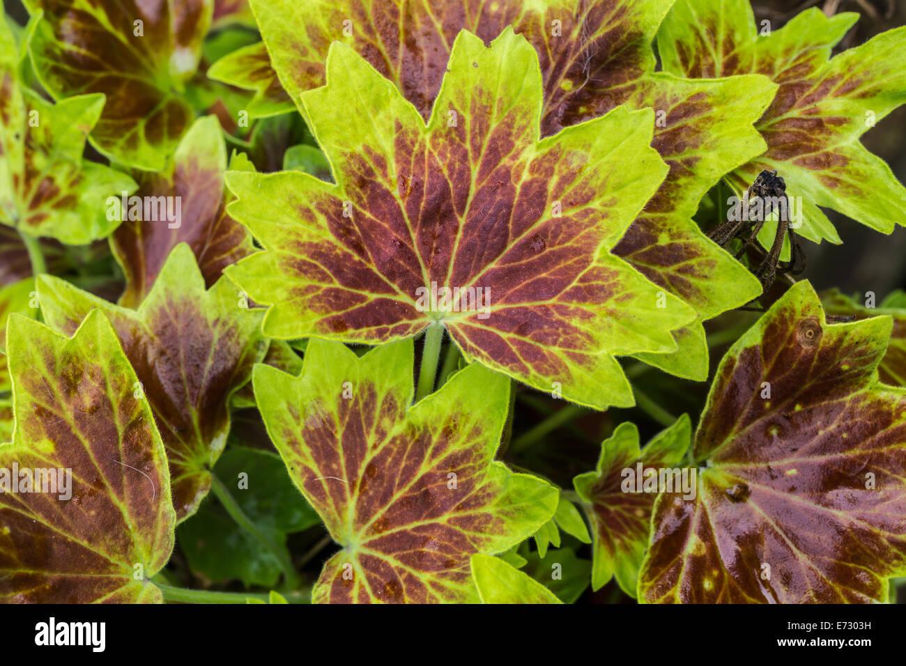 Variegated Leaf Geranium Stock Photos & Variegated Leaf ...