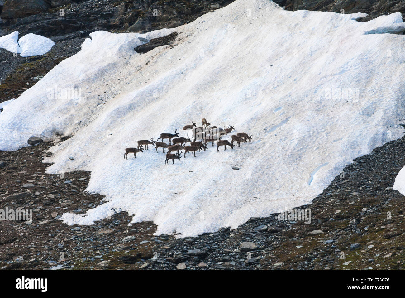 Reindeers gathering on a spot of snow in summer time along kungsleden in mountain area of swedish lapland - Stock Image