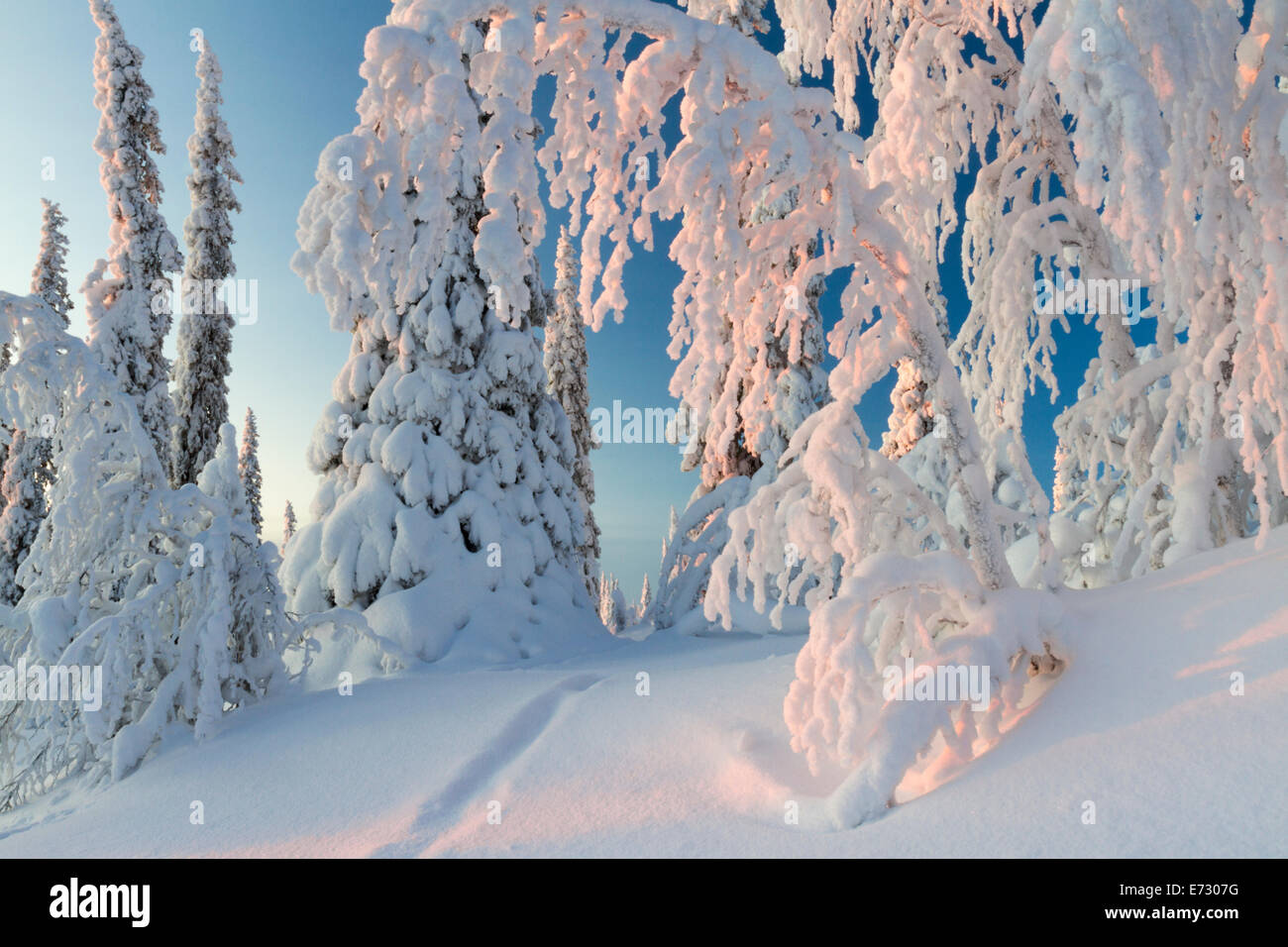 Winter landscape with snow hang on spruces and birches - Stock Image