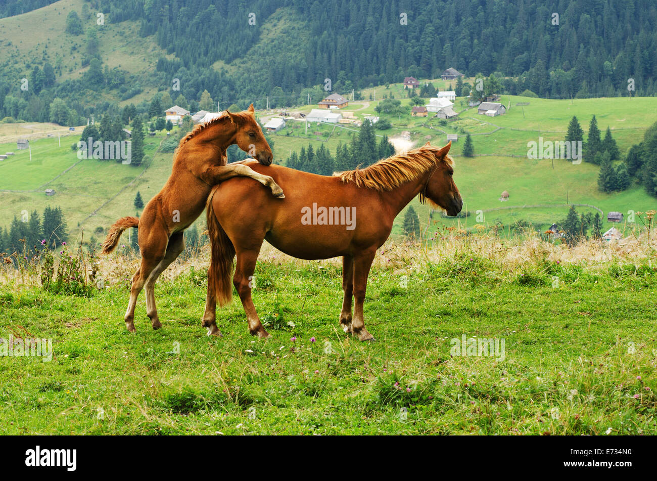 Bay horses playing in the mountains - Stock Image