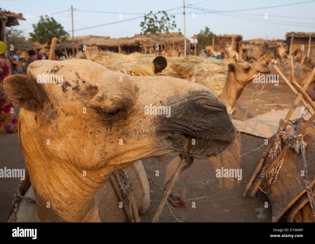 Assayta Camel Market, Afar Region, Ethiopia - Stock Image