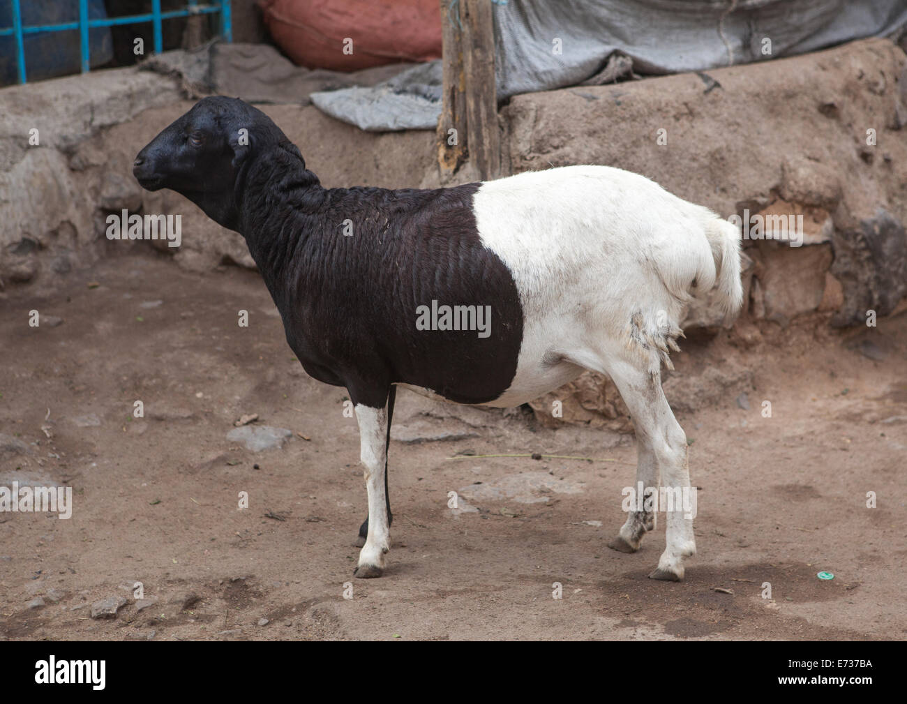 Sheep With Long Tail In Market, Assyata, Ethiopia - Stock Image