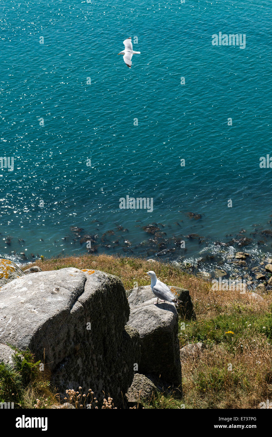 Channel Islands coastline and bird, UK - Stock Image