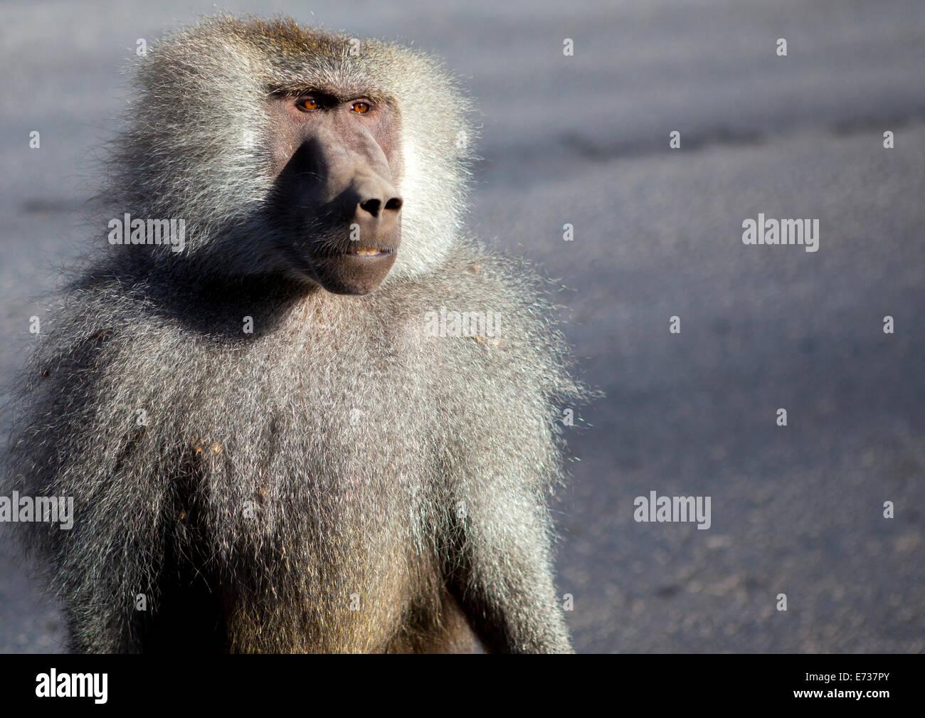 Male Hamadryas Baboon, Dire Dawa, Ethiopia - Stock Image