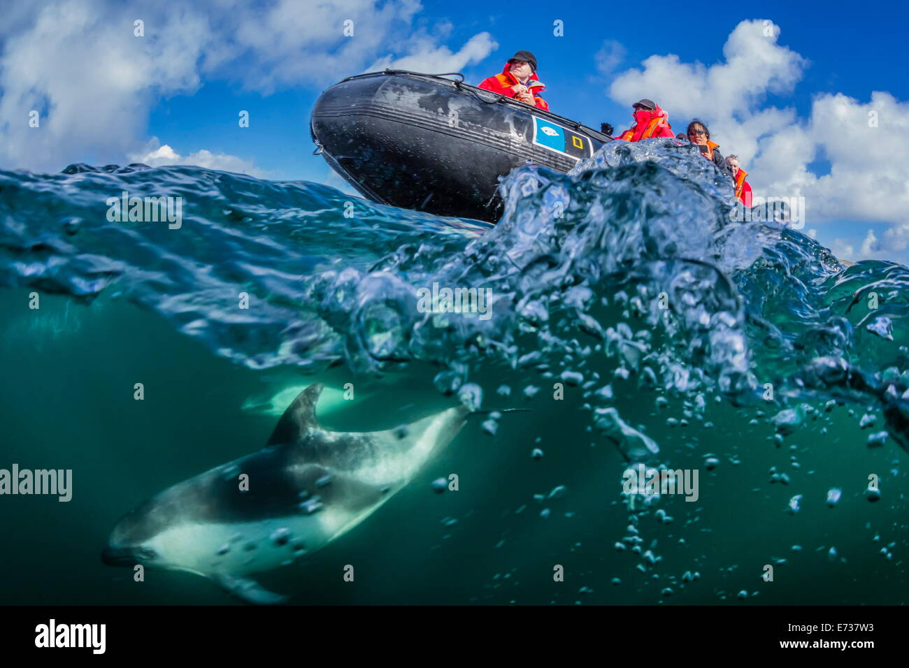 Adult Peale's dolphin bow riding a Lindblad Expeditions Zodiac above and below water near New Island, Falkland - Stock Image
