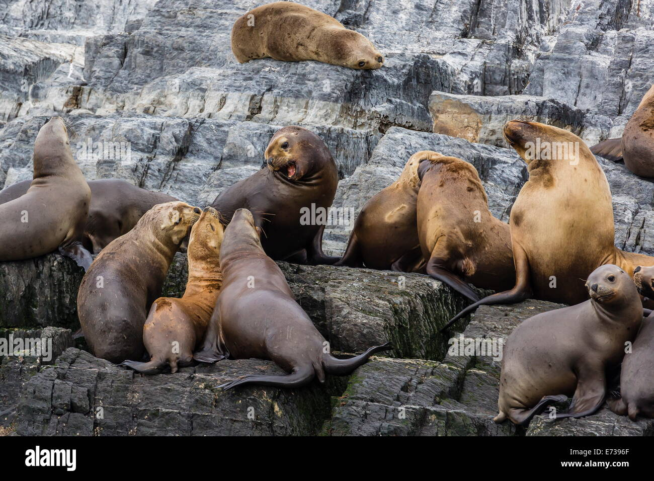 South American sea lions in breeding colony hauled out on small islets just outside Ushuaia, Beagle Channel, Argentina - Stock Image