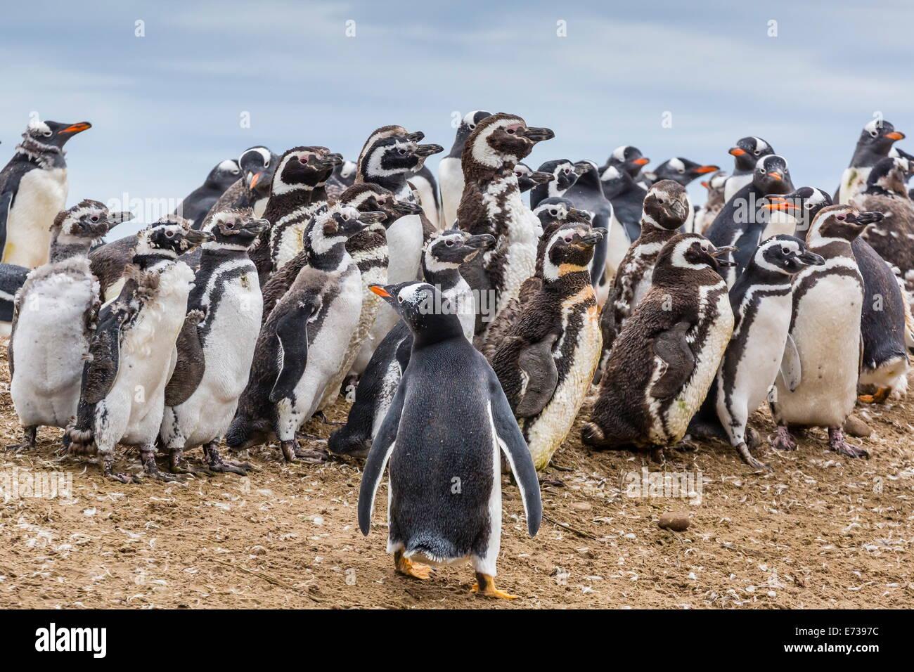 Magellanic penguins molting feathers near gentoo penguin (Pygoscelis papua), on Saunders Island, West Falkland Islands - Stock Image
