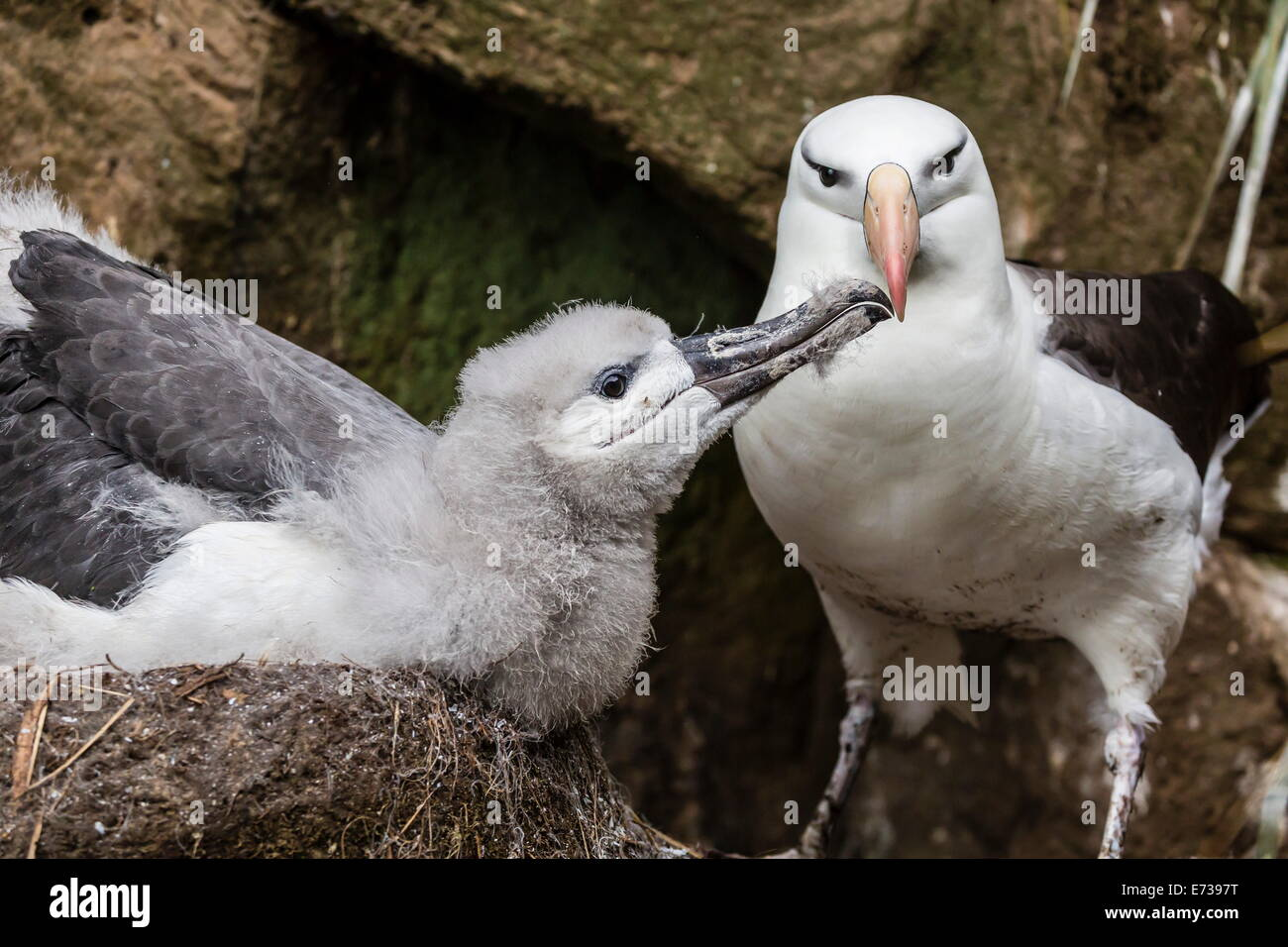 Black-browed albatross chick in nest being fed by adult on Saunders Island, Falkland Islands, UK Overseas Protectorate - Stock Image