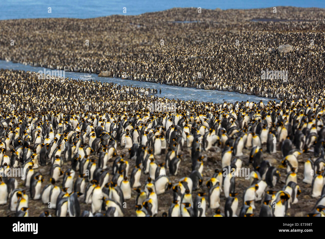 King penguin (Aptenodytes patagonicus) breeding colony at St. Andrews Bay, South Georgia, UK Overseas Protectorate - Stock Image