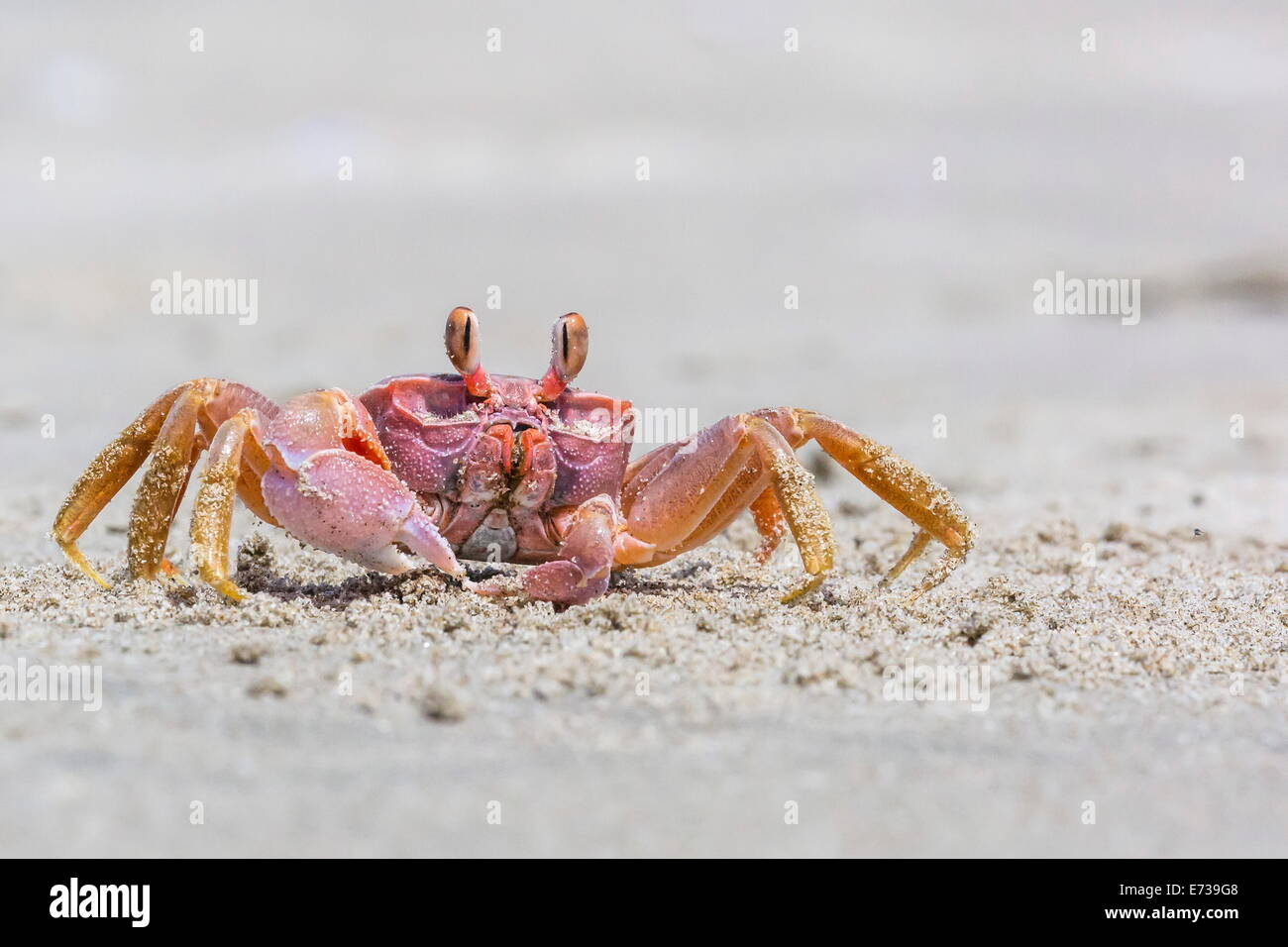 Adult gulf ghost crab (Hoplocypode occidentalis) on Sand Dollar Beach, Magdalena Island, Baja California Sur, Mexico - Stock Image