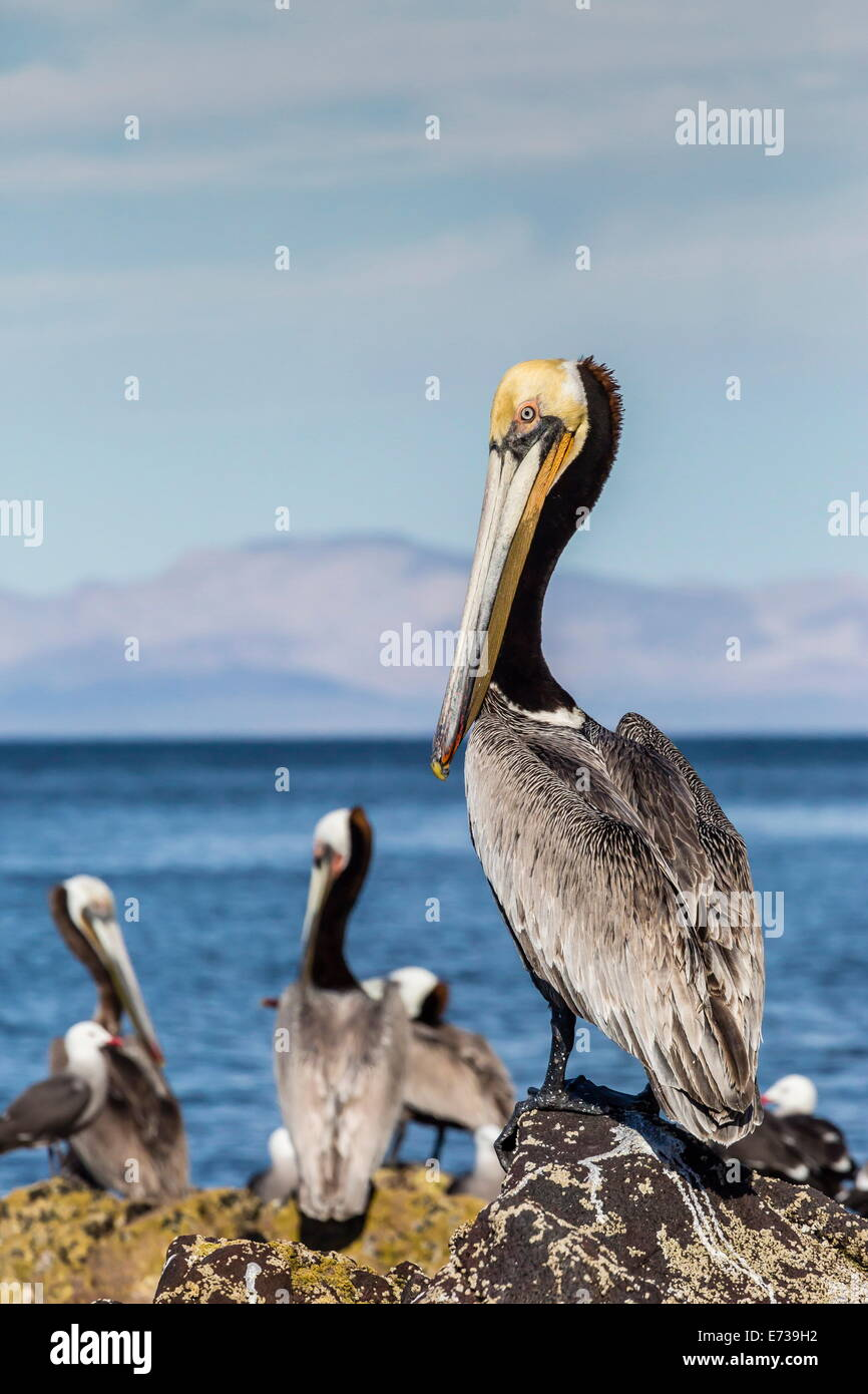 Brown pelican (Pelecanus occidentalis) portrait at Isla Angel de la Guarda, Baja California, Mexico, North America - Stock Image
