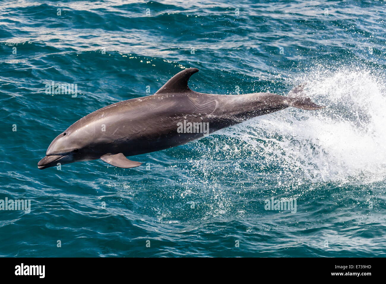 Adult bottlenose dolphin (Tursiops truncatus) leaping in the waters near Isla San Pedro Martir, Baja California - Stock Image