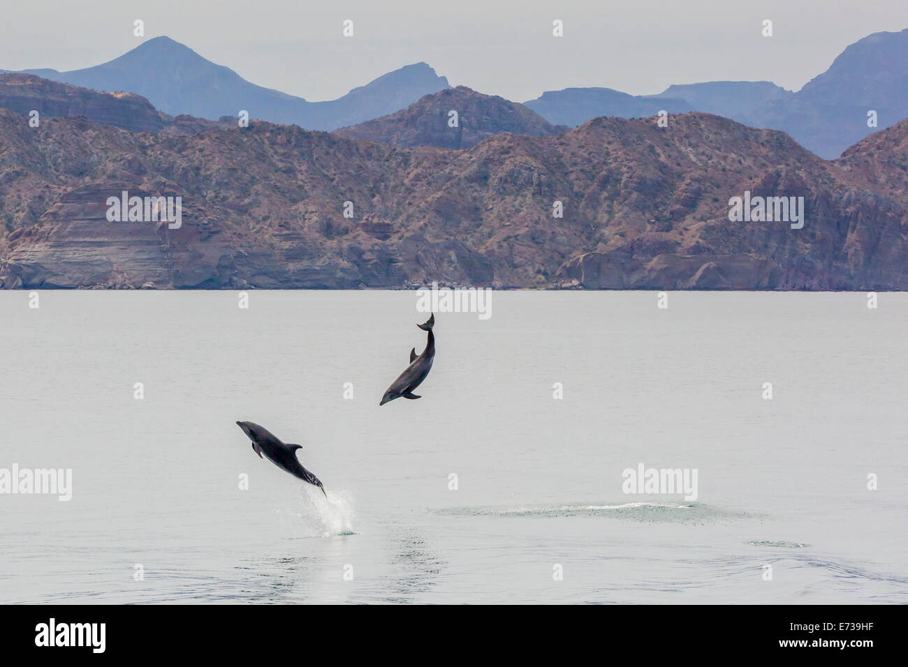 Adult bottlenose dolphins (Tursiops truncatus) leaping in the waters near Isla Danzante, Baja California Sur, Mexico Stock Photo