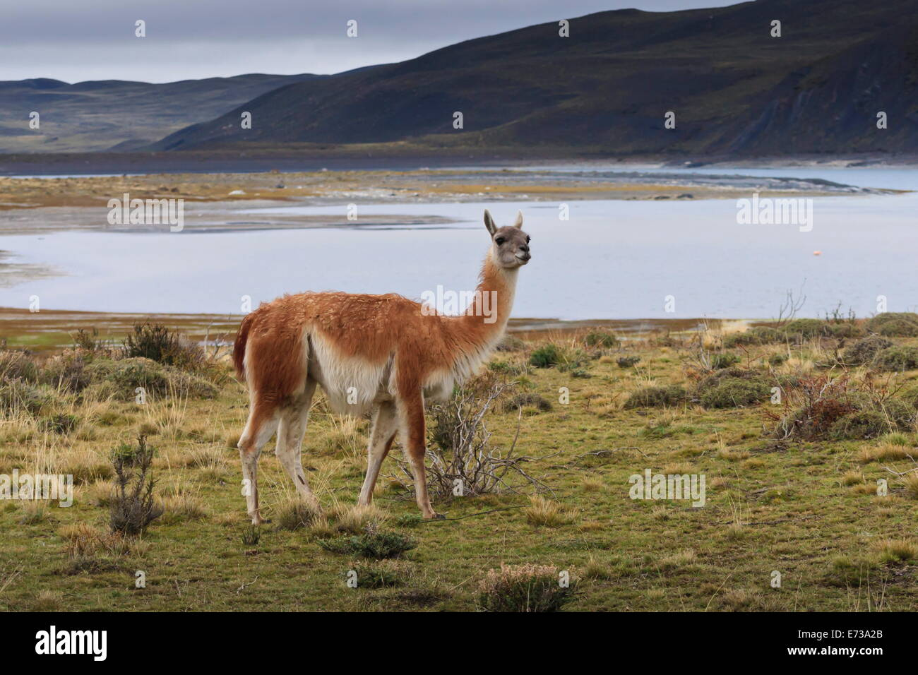 Guanaco (Lama guanicoe) on lake foreshore,Torres del Paine National Park, Patagonia, Chile, South America - Stock Image