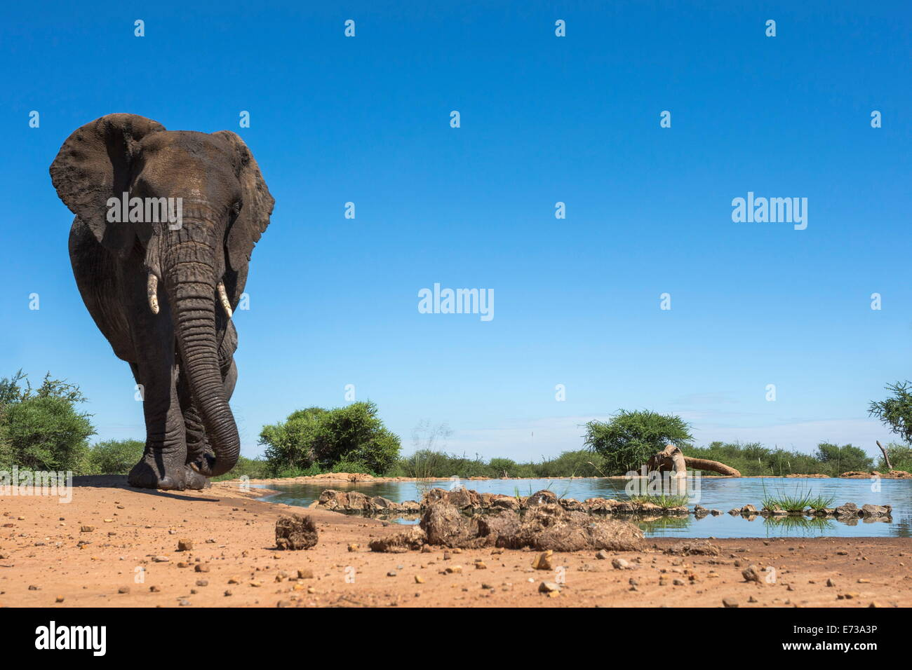 African elephant (Loxodonta africana) at waterhole, Madikwe Game Reserve, North West Province, South Africa, Africa - Stock Image