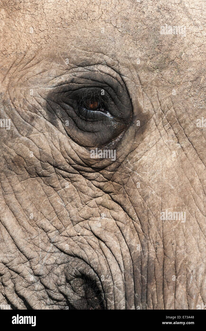 African elephant eye (Loxodonta africana), Addo Elephant National Park, South Africa, Africa - Stock Image