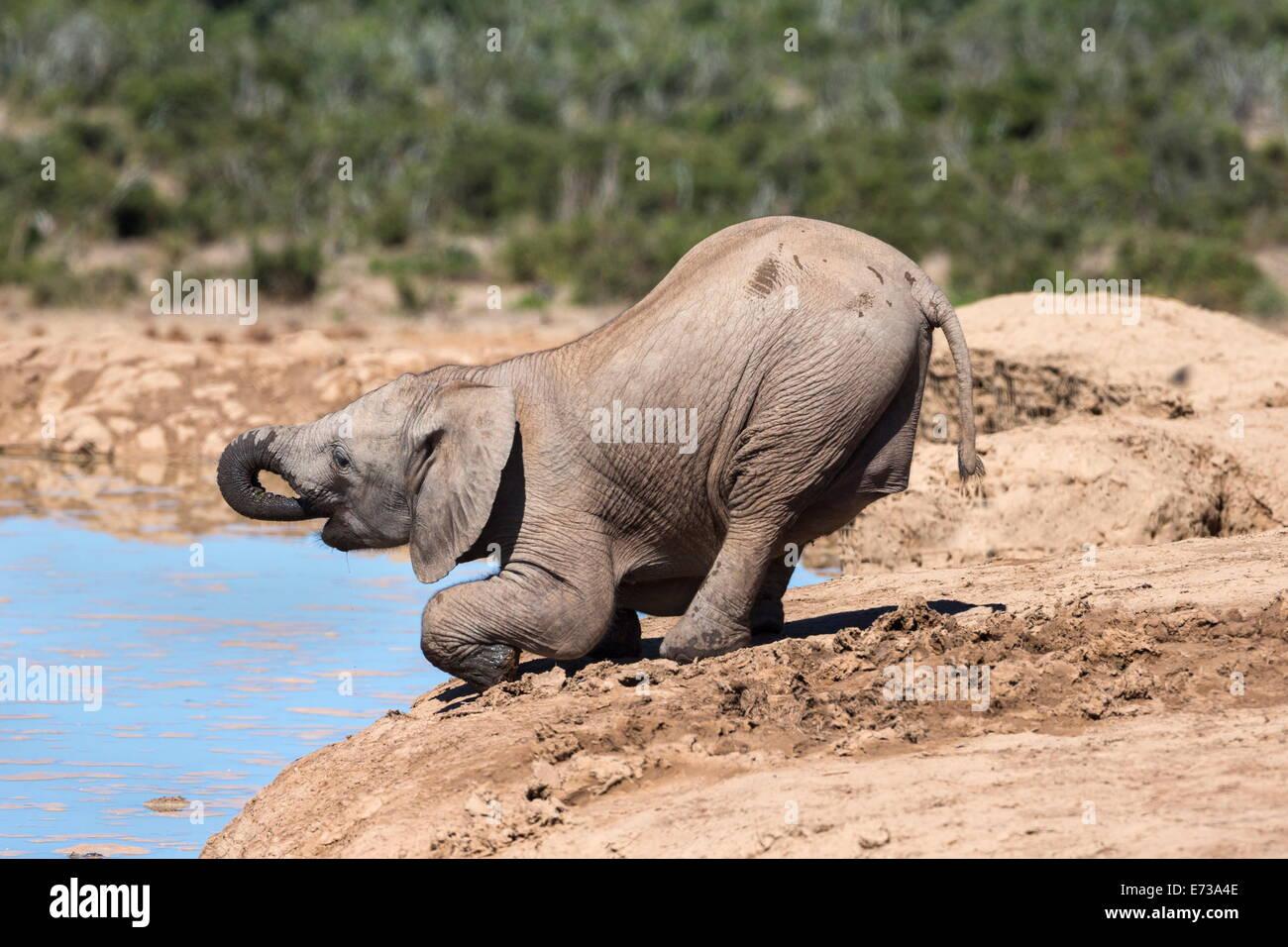 African baby elephant drinking (Loxodonta africana) at Hapoor waterhole, Addo Elephant National Park, Eastern Cape, - Stock Image