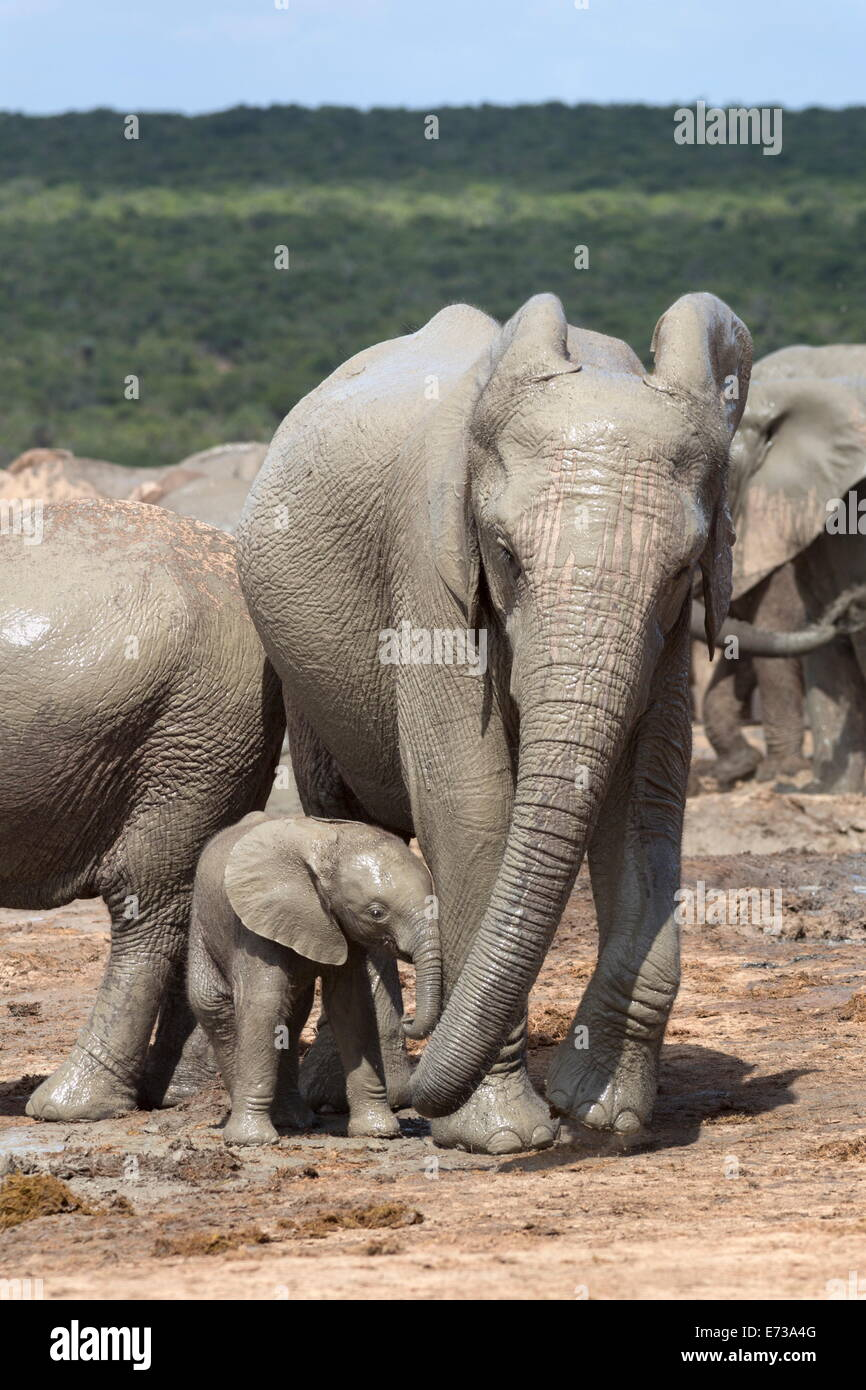African elephant mother and baby at Hapoor waterhole, Addo Elephant National Park, Eastern Cape, South Africa Stock Photo