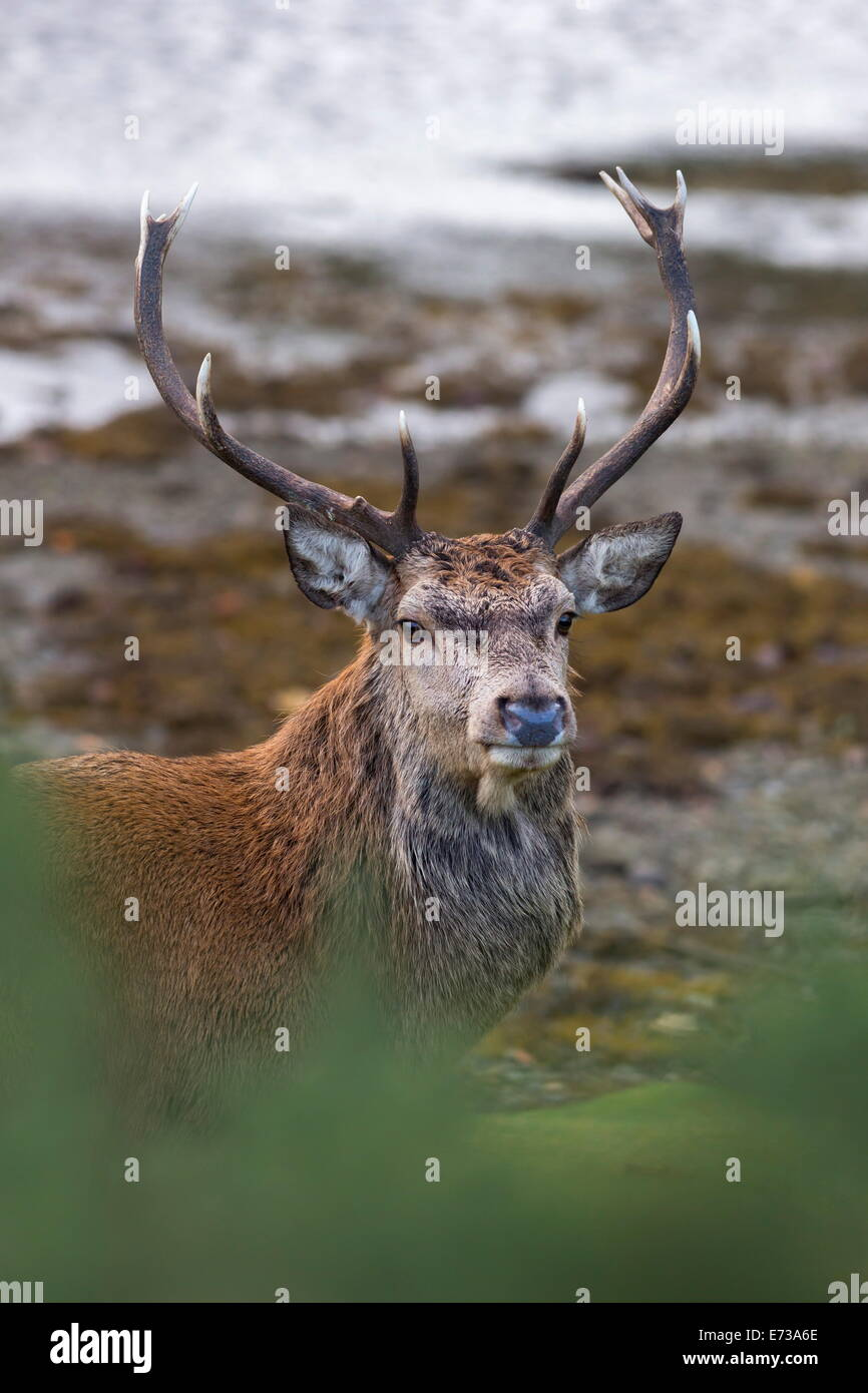 Red deer stag (Cervus elaphus), Arran, Scotland, United Kingdom, Europe - Stock Image