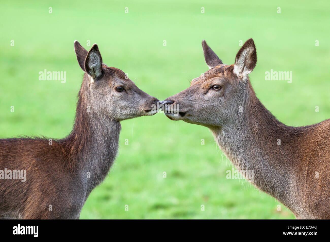 Red deer hind with young (Cervus elaphus), Arran, Scotland, United Kingdom, Europe - Stock Image