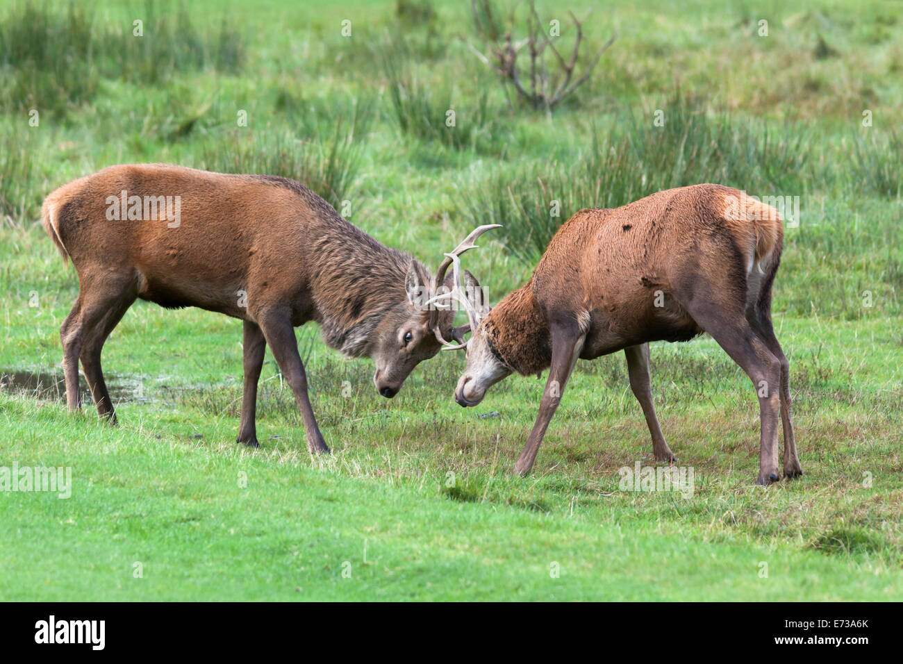 Red deer stags sparring (Cervus elaphus), Arran, Scotland, United Kingdom, Europe - Stock Image