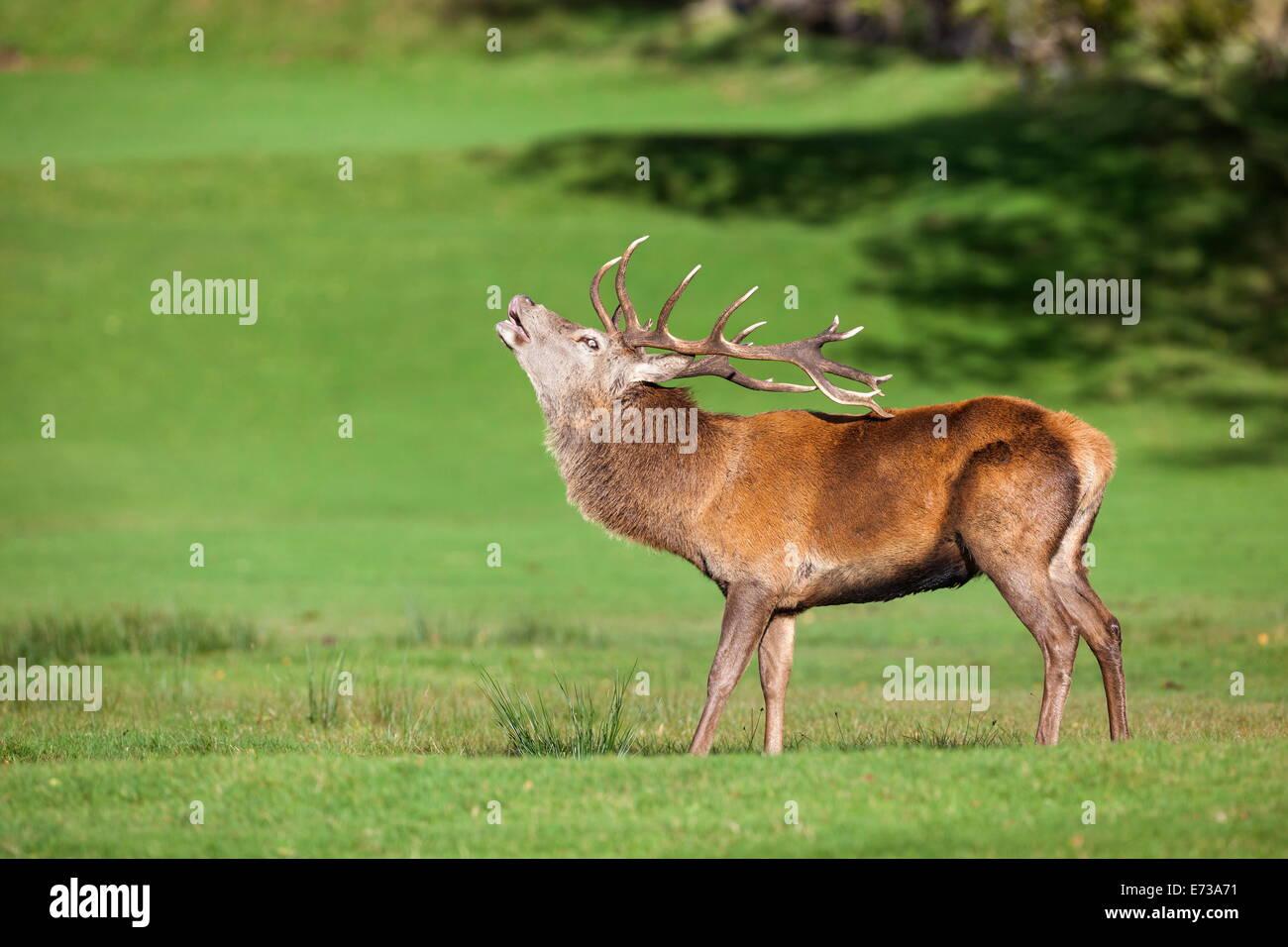 Red deer stag (Cervus elaphus) roaring, Arran, Scotland, United Kingdom, Europe - Stock Image
