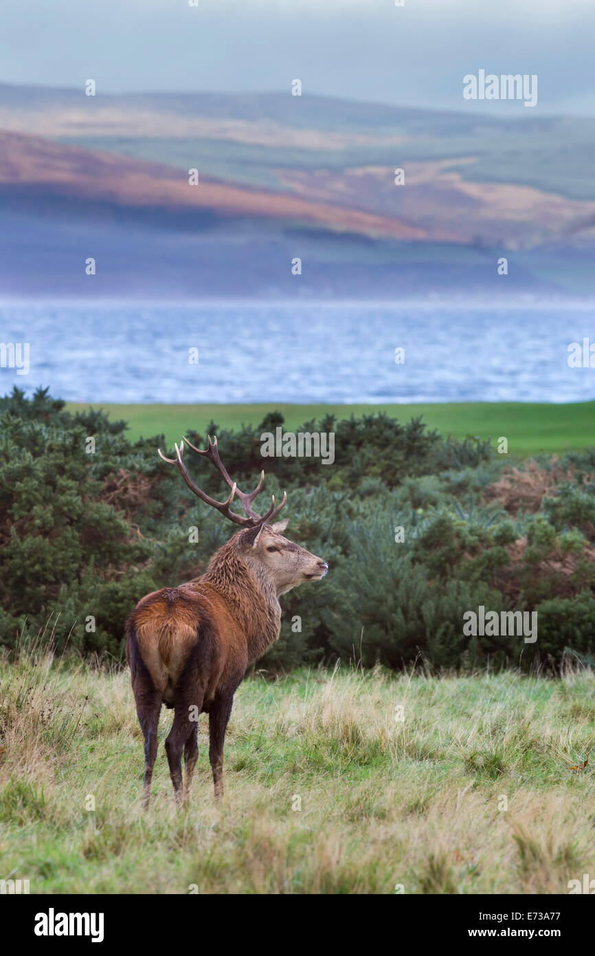 Red deer stag (Cervus elaphus), Isle of Arran, Scotland, United Kingdom, Europe - Stock Image