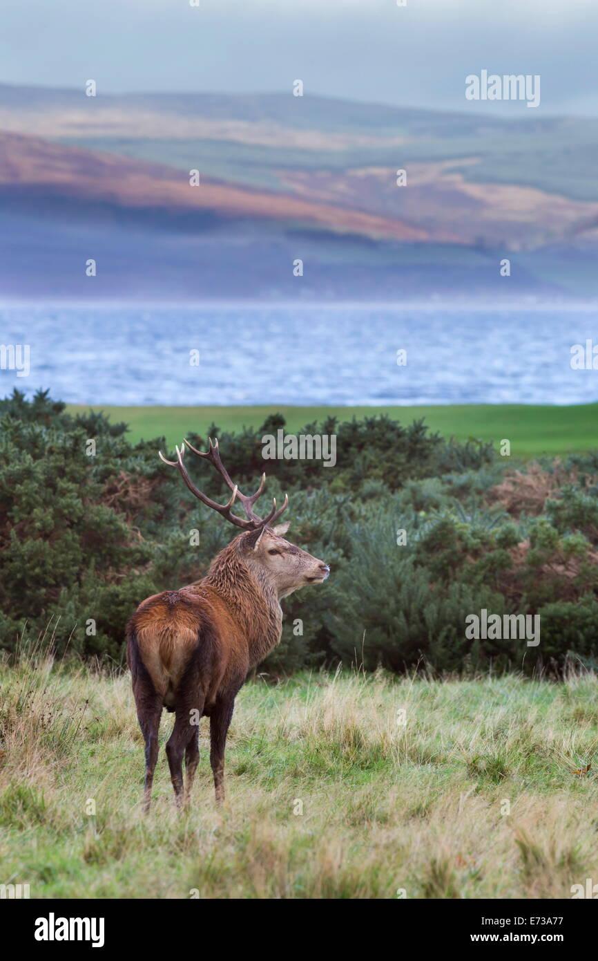 Red deer stag (Cervus elaphus), Isle of Arran, Scotland, United Kingdom, Europe Stock Photo