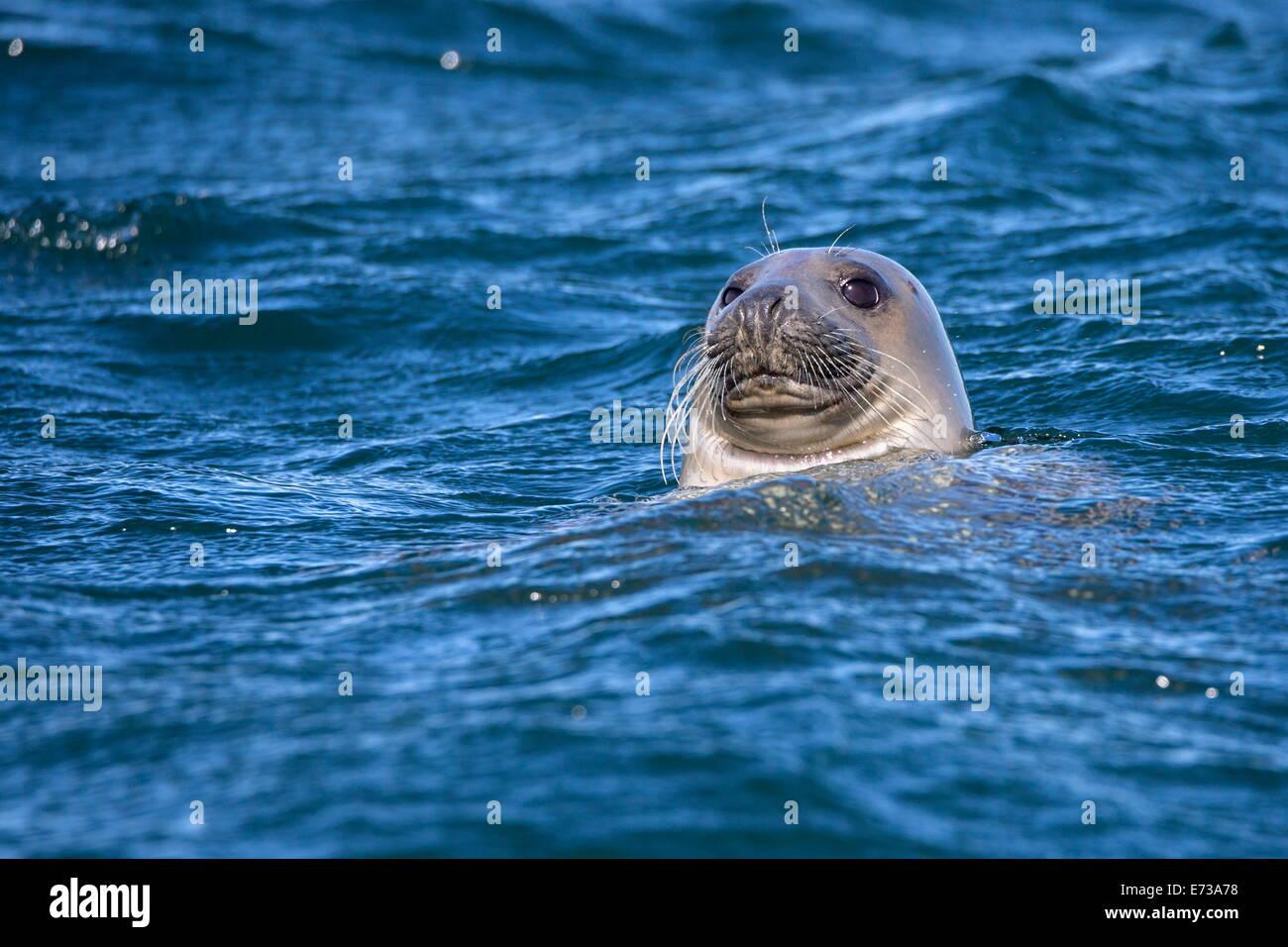 Grey seal (Halichoerus grypus) swimming, Farne Islands, Seahouses, Northumberland, England, United Kingdom, Europe Stock Photo