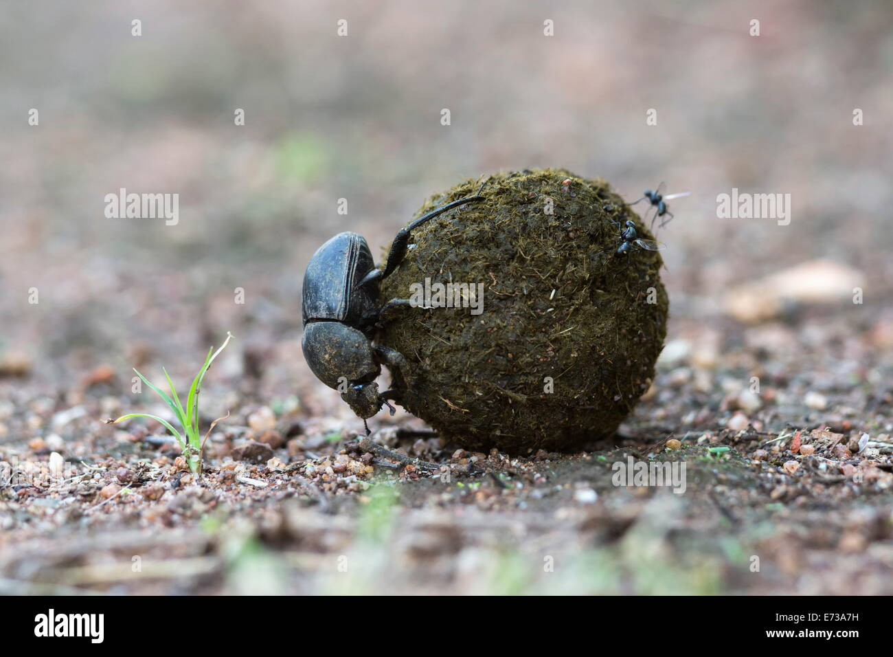 Dung beetle rolling ball it has made out of zebra dung, Pilanesberg National Park, North West Province, South Africa - Stock Image