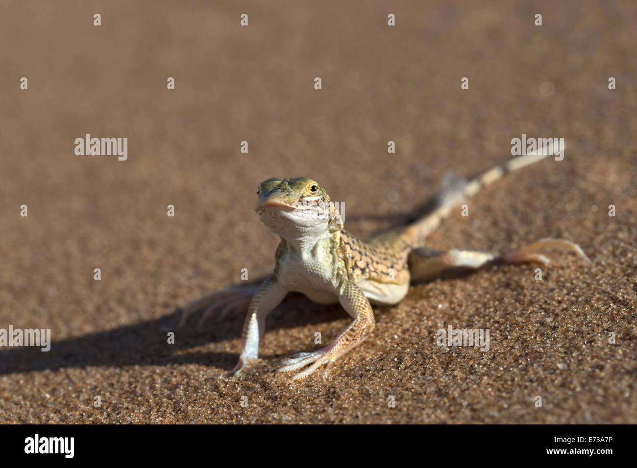 Shovel-snouted lizard (Meroles anchietae), Namib Desert, Namibia, Africa - Stock Image