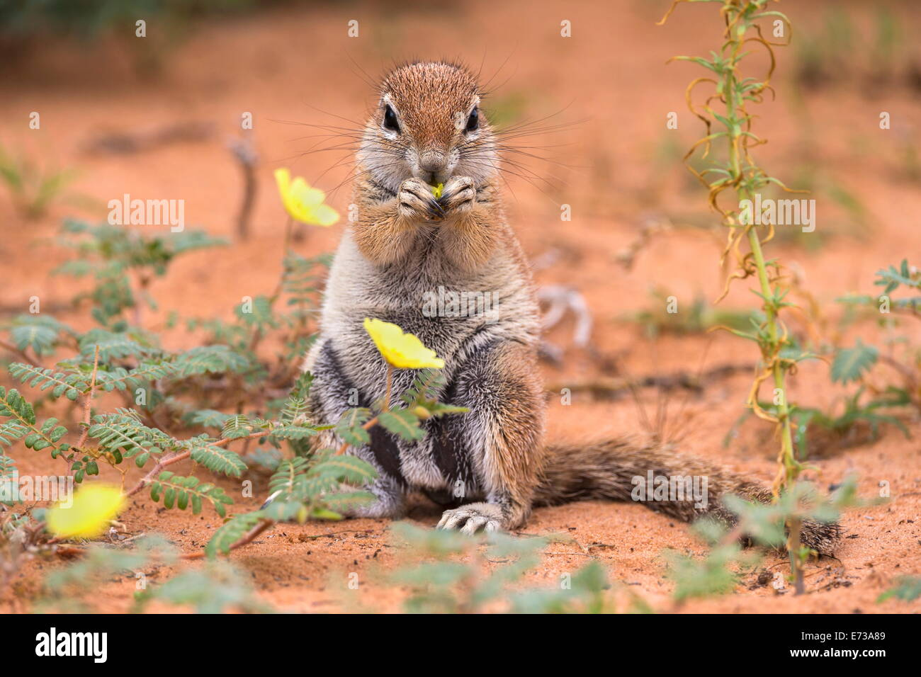 Ground squirrel eating devil's thorn flowers (Tribulus zeyheri), Kgalagadi Transfrontier Park, Northern Cape, - Stock Image
