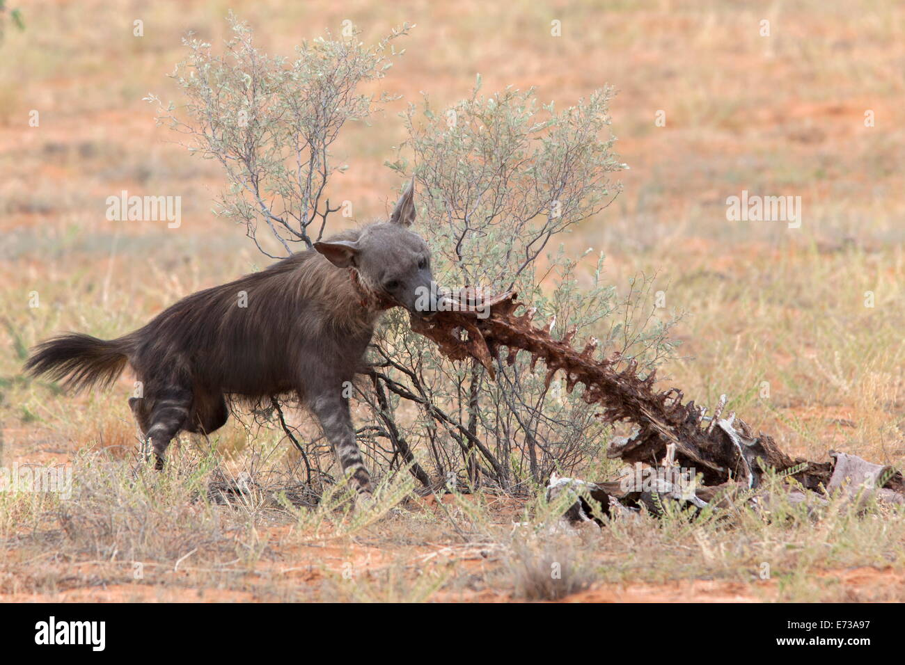 Brown hyena (Hyaena brunnea) scavenging remains of lion kill, Kgalagadi Transfrontier National Park, Northern Cape, - Stock Image