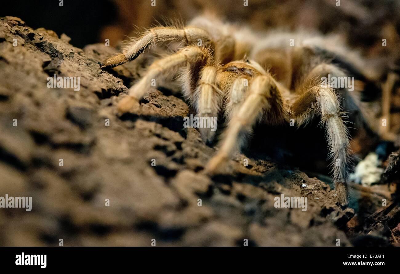 Munich Germany 5th Sep 2014 A Western Desert Tarantula Stock Photo Alamy