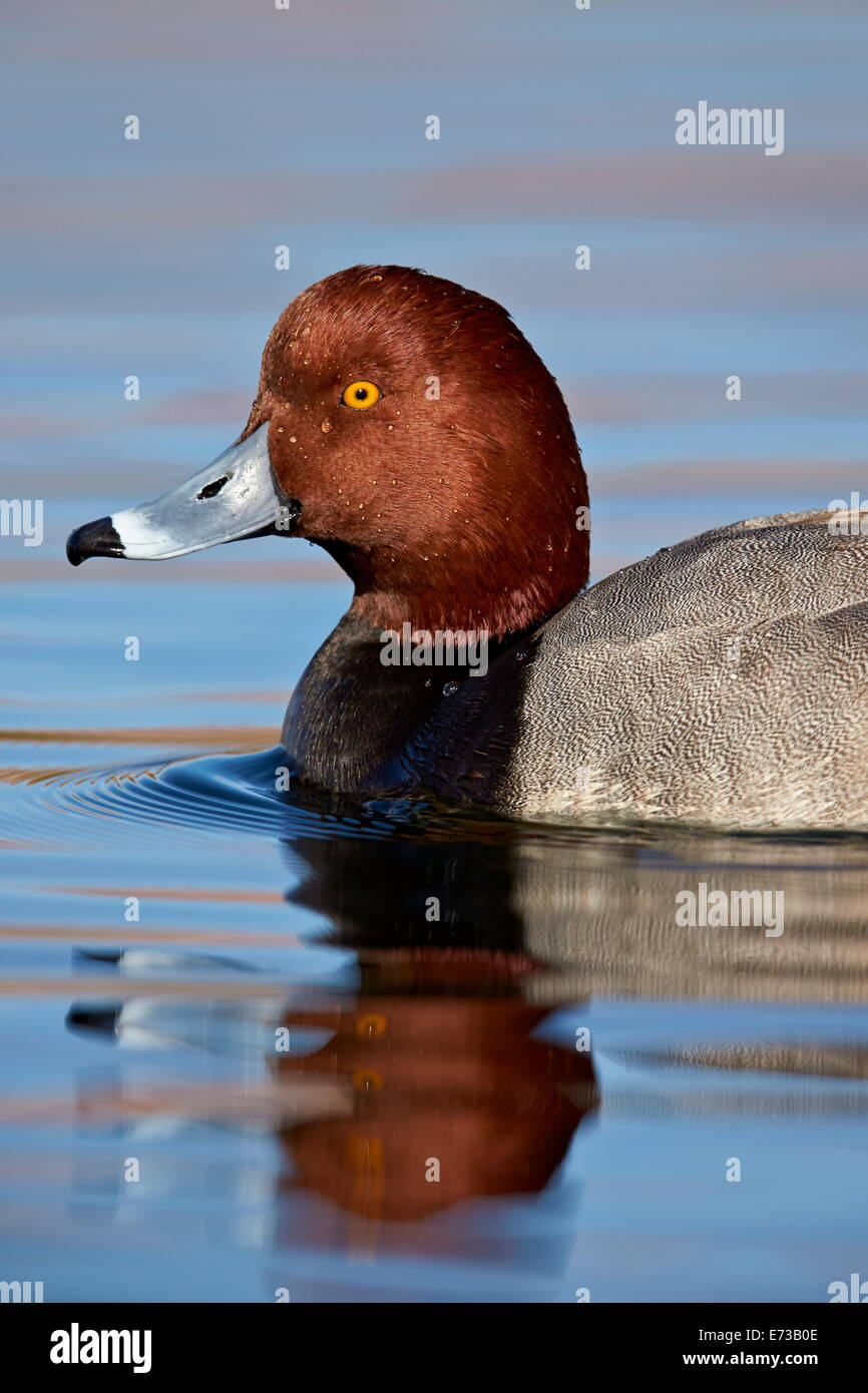 Redhead (Aythya americana) swimming, Clark County, Nevada, United States of America, North America - Stock Image