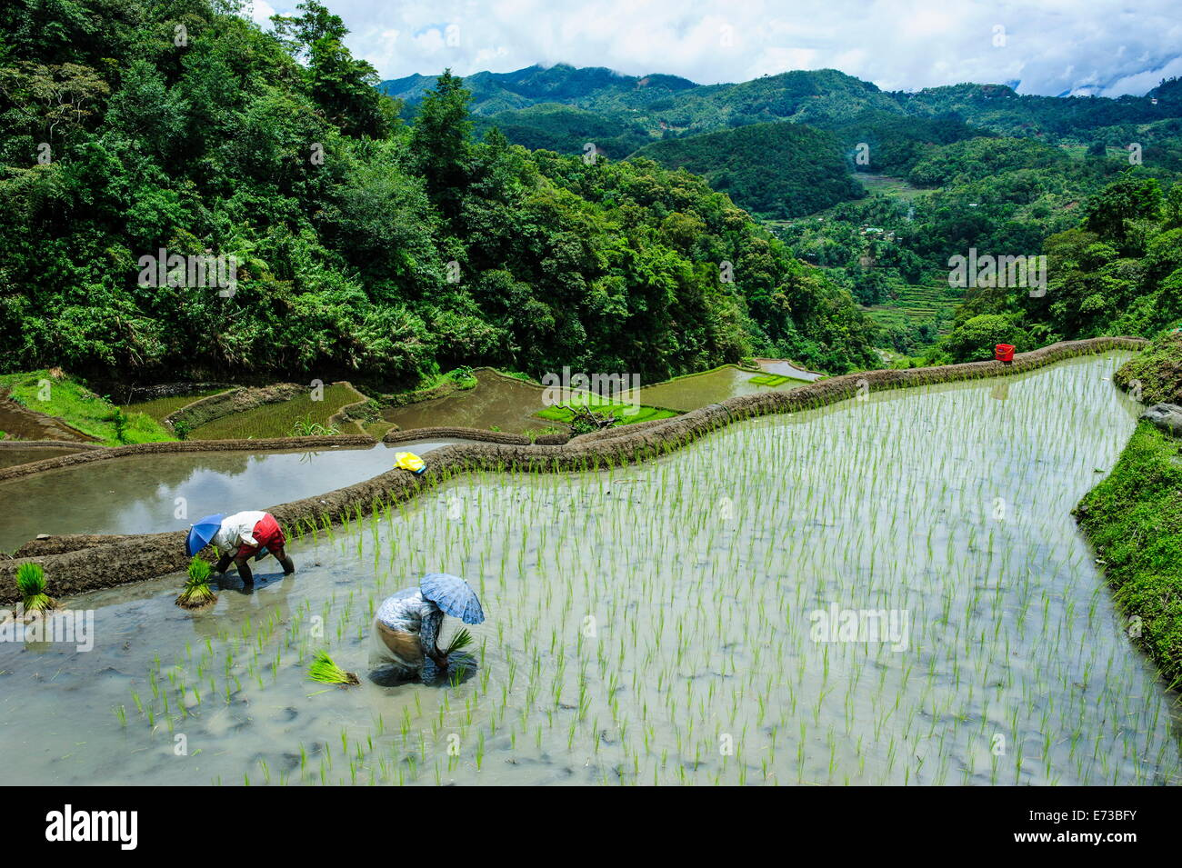 People harvesting in the rice terraces of Banaue, UNESCO World Heritage Site, Northern Luzon, Philippines, Southeast - Stock Image