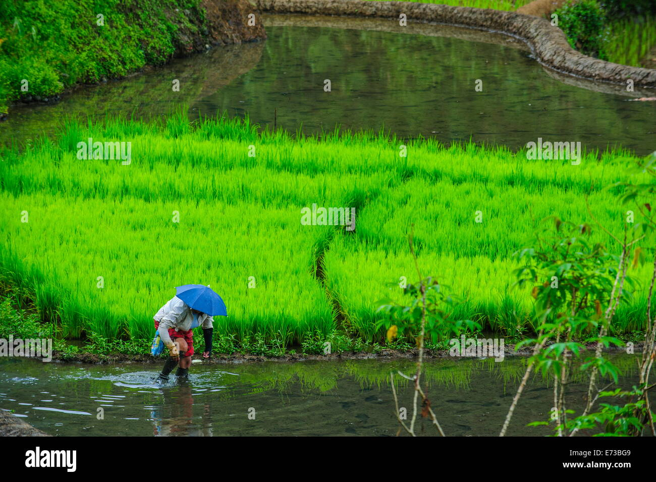 Woman working on the rice terraces of Banaue, UNESCO World Heritage Site, Northern Luzon, Philippines, Southeast - Stock Image